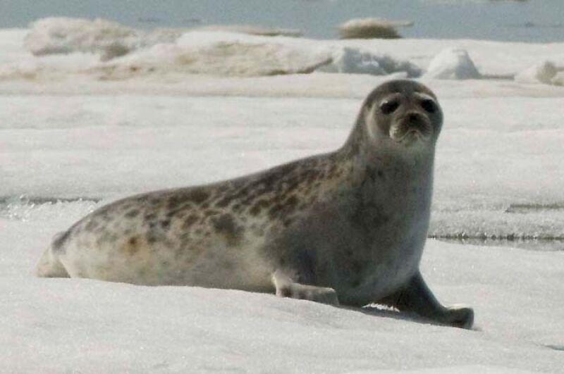 Foka obrączkowana (NOAA)