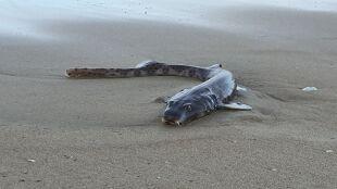 Woda wyrzuciła na brzeg rybę o kocich oczach