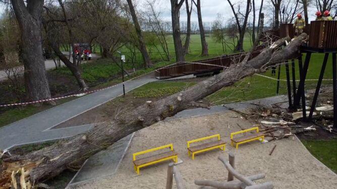 """Wiatr powalił ogromne drzewo na taras widokowy <br />w Białej Podlaskiej. """"Działania były dosyć trudne"""""""