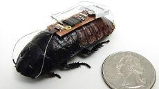 Zdalnie sterowane karaluchy w służbie ludziom?