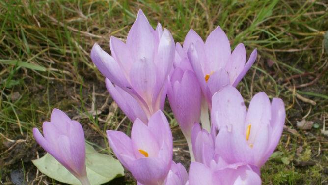 W Bieszczadach zakwitły zimowity jesienne. Zwiastują koniec lata