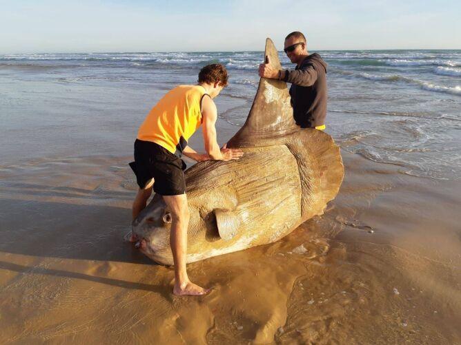 Ogromna ryba znaleziona w pobliżu ujścia australijskiej rzeki Murray (Linette Grzelak)